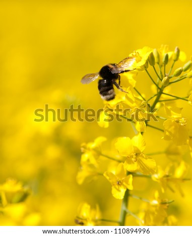 Bumble bee on a flower of canola - stock photo