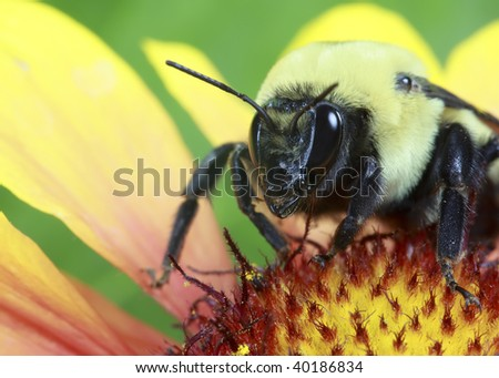 Bumble bee on a Rudbeckia flower - stock photo