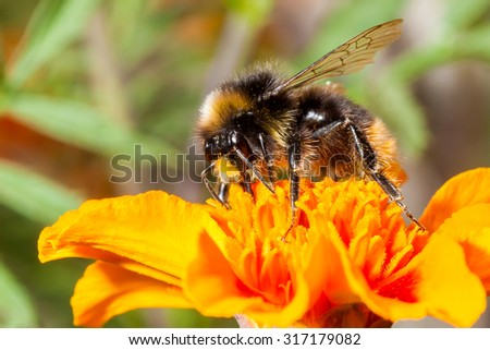 Bumble bee on a yellow flower - stock photo