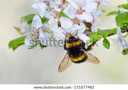 bumble bee on cherry flower - stock photo