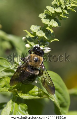 Bumble Bee Pollinating Sweet Basil Blossoms 4 / Bumble Bee Pollinating Sweet Basil Blossoms 4 / Bumble Bee Pollinating Sweet Basil Blossoms 4 /  - stock photo