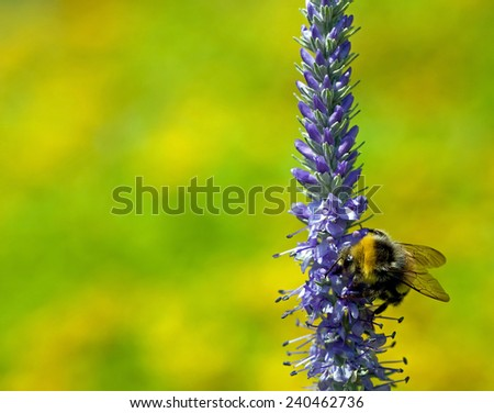 Bumblebee and blue flowers - stock photo