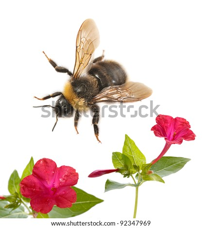 bumblebee and flower isolated on white background - stock photo