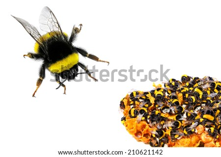 Bumblebee and honeycombs. Close up . Isolated on the white background  - stock photo