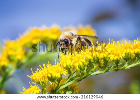 Bumblebee (Bombus pascuorum) on a yellow flower - stock photo