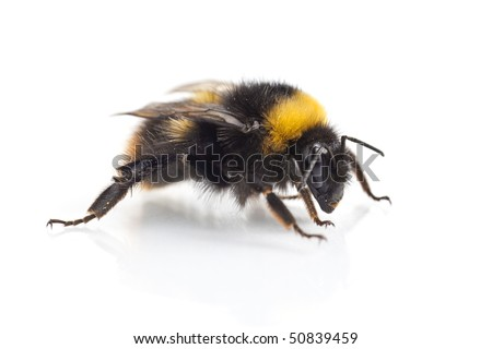 bumblebee (bombus terrestris) close-up on white background
