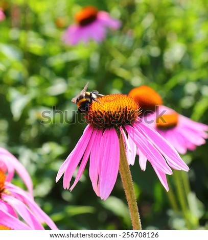 bumblebee collect nectar from the flowers of Echinacea purpurea  - stock photo