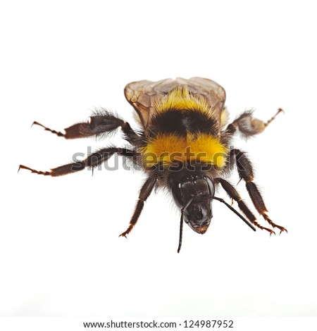 Bumblebee  creeps on a white background - stock photo