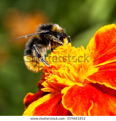 Bumblebee is working on a yellow flower