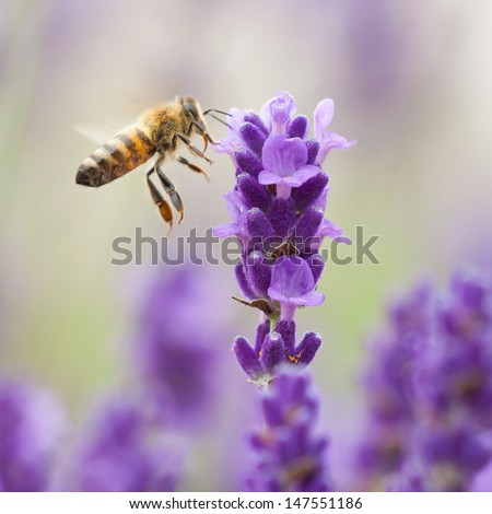 Bumblebee lavender flower - stock photo