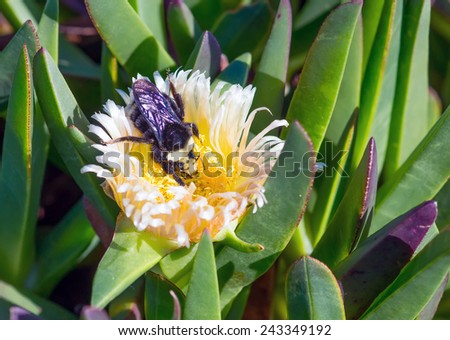 Bumblebee on a flower Carpobrotus. Pacific Coast, California - stock photo