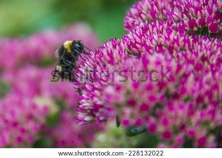 Bumblebee on Sedum (Autumn Joy) flower - stock photo