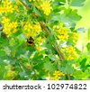 Bumblebee Pollinating Jostaberry Bush with Yellow Flowers - stock photo