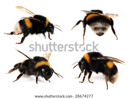 Bumblebees Collection - stock photo