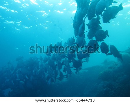 bumphead fish at school - stock photo