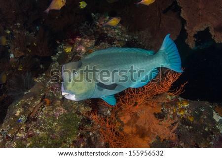 Bumphead parrot fish on shipwreck dive - stock photo