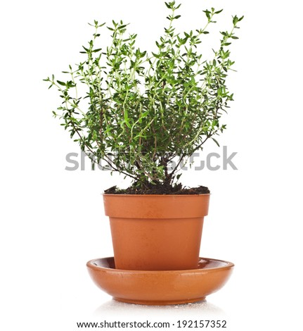 Bunch fresh green thyme herb growing in brown flower pot isolated on white  - stock photo