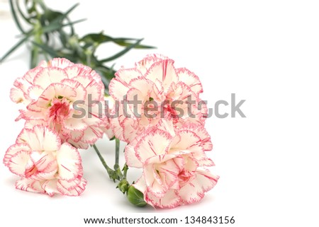 Bunch o fresh white carnations  isolated on white background. Space for your text. - stock photo