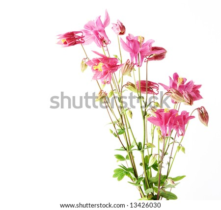 Bunch of aquilegia red star flowers, isolated on white background - stock photo