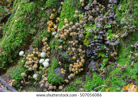 Bunch of autumnal fungus grows over mossy stump, Bialowieza Forest, Poland, Europe