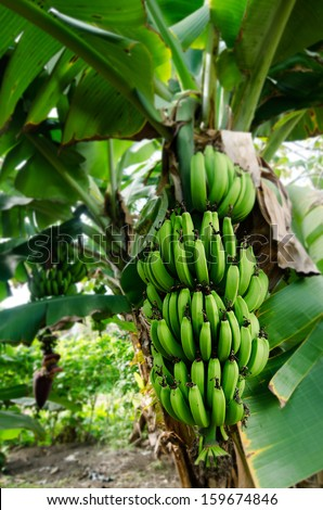 Bunch of bananas on a branch of banana tree in Banana orchard in Rarotonga, Cook Islands.