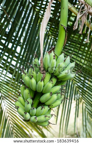 Bunch of bananas on tree with coconut leaves background