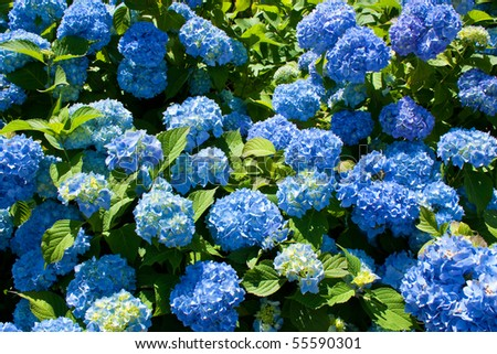 Bunch of blue blooming hydrangea flowers in the spring sunshine - stock photo