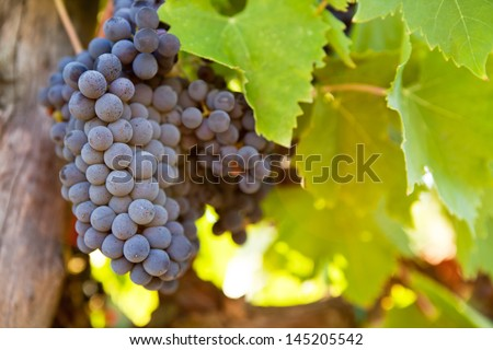 Bunch of blue grapes on the vine with leaves - stock photo