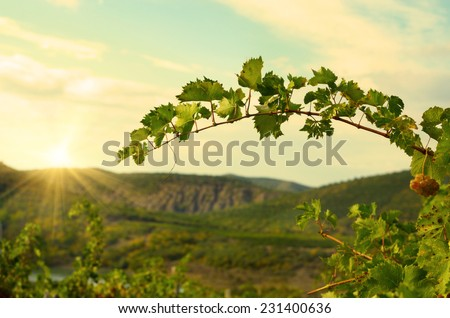 Bunch of blue grapes on vine at sunset time - stock photo