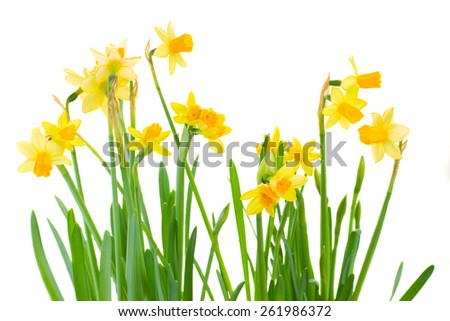 bunch  of bright spring yellow daffodils  isolated on white background - stock photo