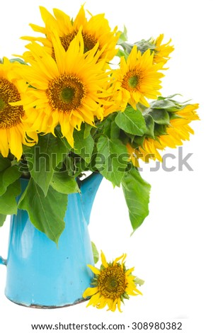 bunch of bright sunflowers in blue pot close up isolated on white  - stock photo