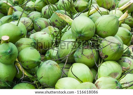bunch of coconuts in the plantation - stock photo