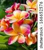 Bunch of colorful fragrant frangipani or plumeria tropical flowers - stock photo