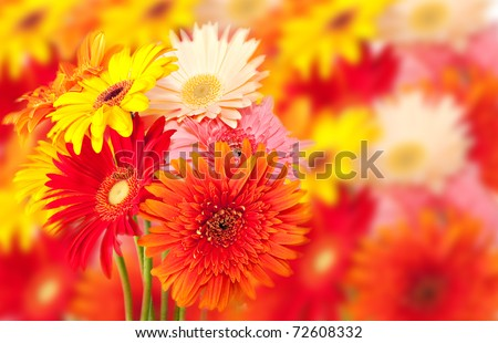 bunch of colorful gerbera daisies with out of focus flower background - stock photo
