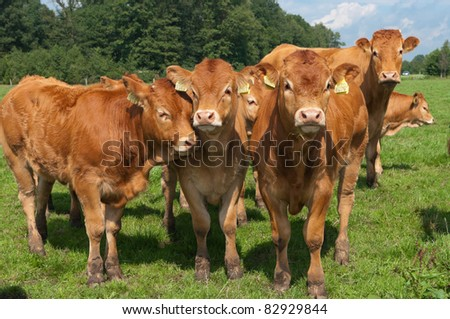 bunch of curious young limousine calves in a dutch meadow - stock photo