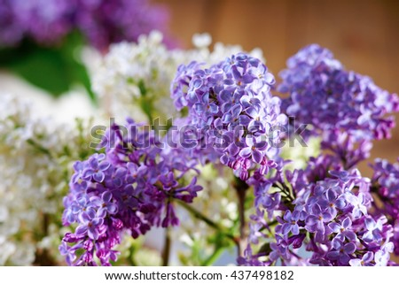 Bunch of flowering purple lilac