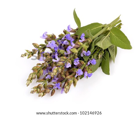 Bunch of flowering sage, over white background. - stock photo