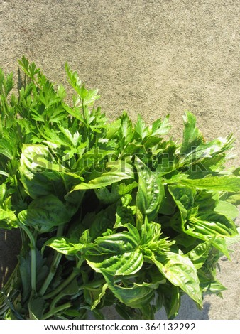 Bunch of fresh basil, parsley and sage hand picked from the garden in a Tuscan farm - stock photo