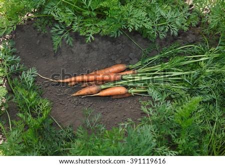 Bunch of fresh carrots among growing in vegetable garden - stock photo