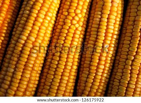 bunch of fresh corn - stock photo