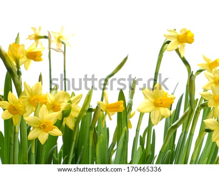 Bunch of fresh garden daffodils over white background - stock photo