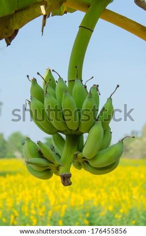 Bunch of fresh green bananas on a tree. - stock photo
