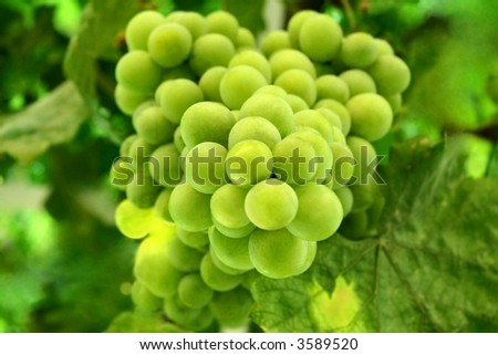 Bunch of fresh green grapes - stock photo