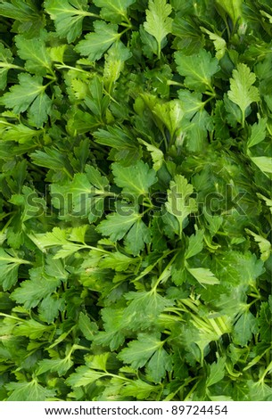 Bunch of Fresh green parsley .  background - stock photo