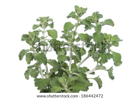 Bunch of fresh horehound Marrubium vulgare stems on white background - stock photo