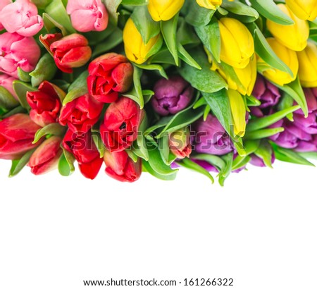 bunch of fresh multicolor tulips isolated on white background. Spring flowers. Red, yellow, pink, violet. Selective focus - stock photo