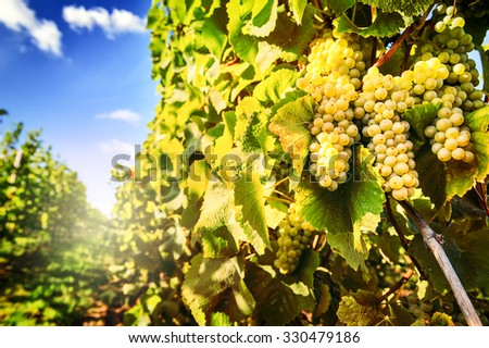Bunch of fresh organic grape on vine branch - stock photo