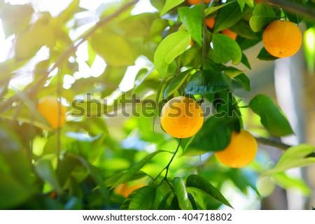 Bunch of fresh ripe oranges on a orange tree branch in sunny garden - stock photo