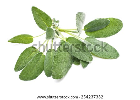 Bunch of fresh sage herb isolated on white - stock photo