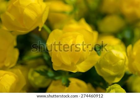 Bunch of Globe-flower, Trollius europaeus. Garden in bloom, early spring.  - stock photo